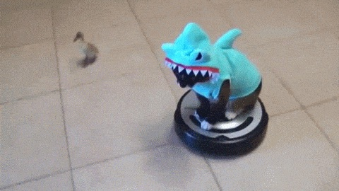 Duck chasing cat in shark costume on Roomba.
